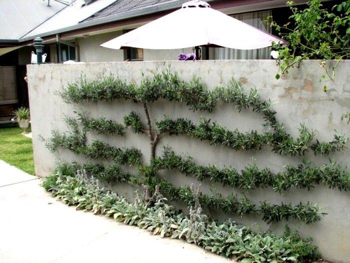 17 best images about un espalier ou palmette dans votre - Ou planter un palmier dans son jardin ...
