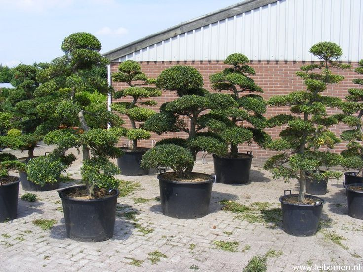 Buxus sempervirens  Bonsai Japan