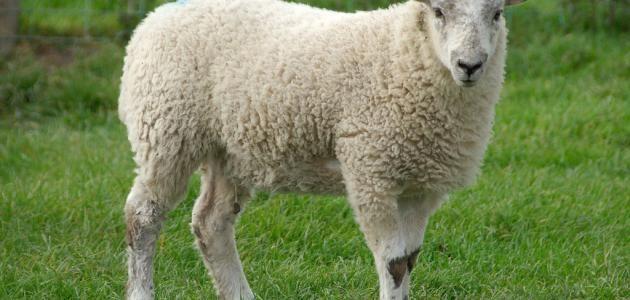 تفسير رؤية الخروف في المنام للأمام الصادق Animals Lamb