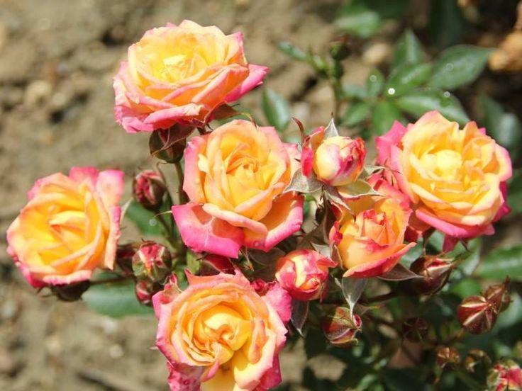 Бордюрные розы фото с названиями