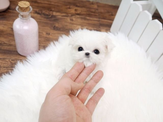 Outstanding Home Raised Teacup Maltese Puppies Available Text