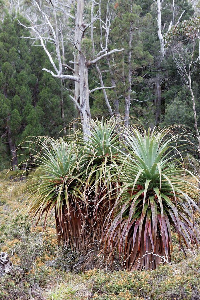Richea pandanifolia pandanis, Meander Valley, Tasmania, Australia