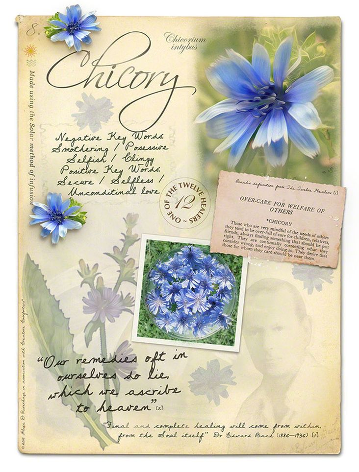 Chicory Bach Flower Picture Card