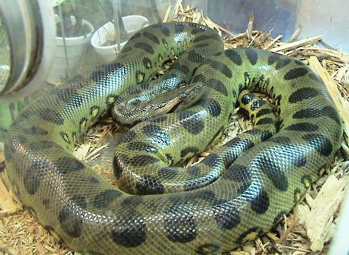 The green anaconda, also known as the common anaconda and water boa, is a non-venomous boa species found in South America. It is the heaviest and one of the longest known extant snake species.