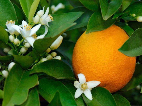 10 remedios caseros para combatir el insomnio - 9. Flores de naranjo