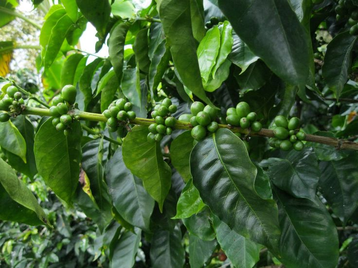 Green coffee beans Colombia