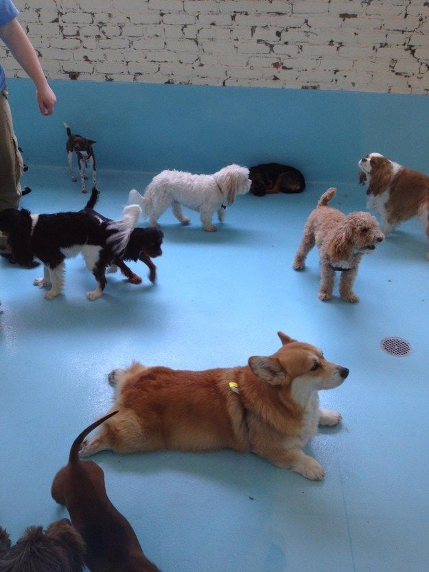 Look at this King corgi surrounded by the hoi polloi.   44 Reminders That Corgis Are The Best Part Of The Internet