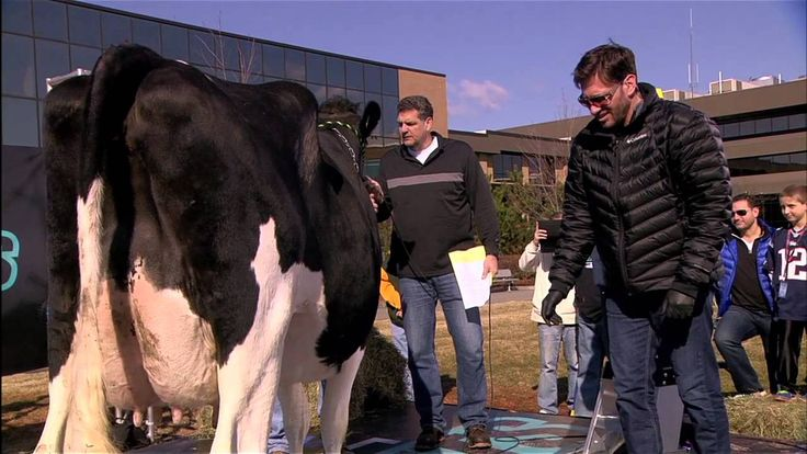 Mike Greenberg's Disastrous Cow-Milking Challenge