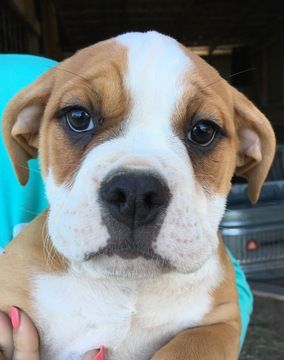 Litter of 9 Olde English Bulldogge puppies for sale in CANYON LAKE, TX. ADN-27227 on PuppyFinder.com Gender: Female. Age: 14 Weeks Old
