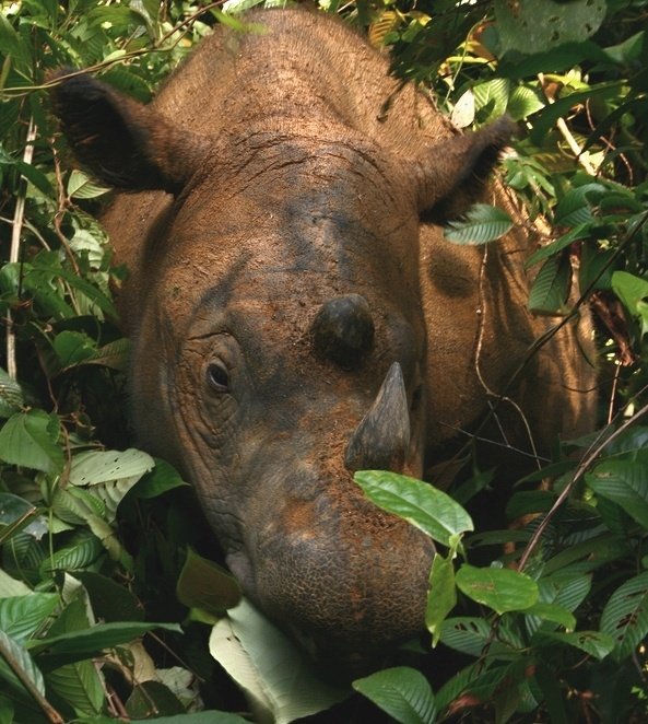 """Sumatran rhinoceros: """"This rhino, the world's smallest, is sometimes nicknamed 'hairy rhino' from the shaggy coat that it grows in captivity. In the wild, however, the rubbing of forest vegetation keeps the hair on its reddish-brown hide short and bristly, except for longer tufts on the ears and tail."""" 100 Animals To See Before They Die www.bradtguides.com"""