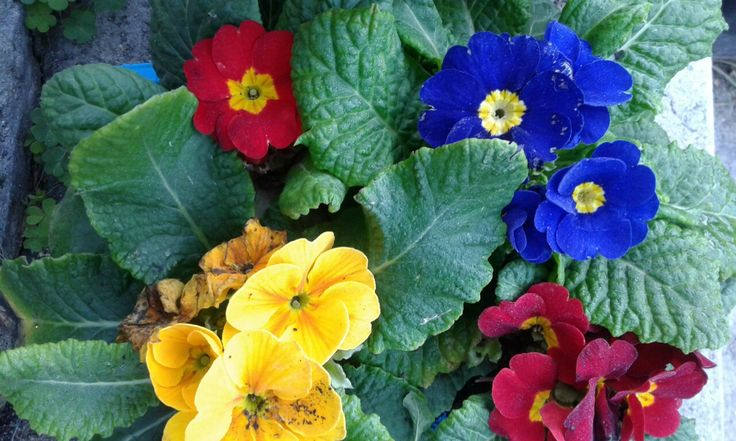 Primulas to bring a bit of colour to the winter