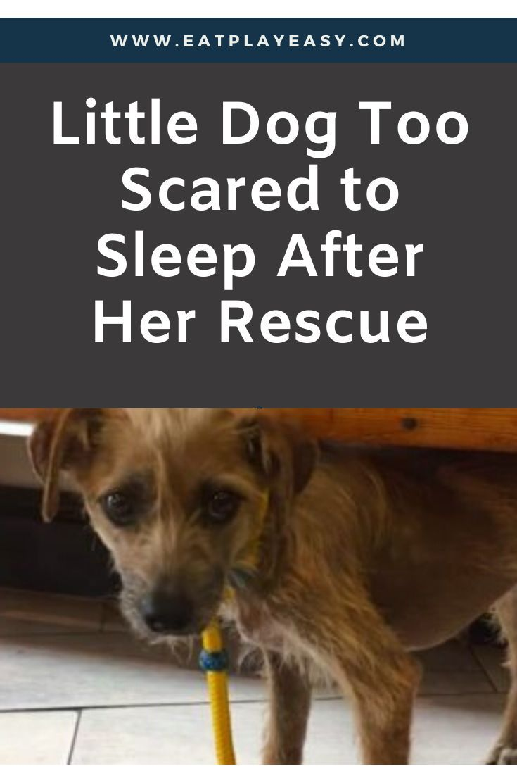Little Dog Too Scared To Sleep After Her Rescue Eat Play Easy Pitbull Puppies Little Dogs Dog Stories