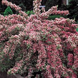 Variegated Weigela: The perfect flowering shrub for bird lovers!  Flowering from late spring into fall.  I want one!