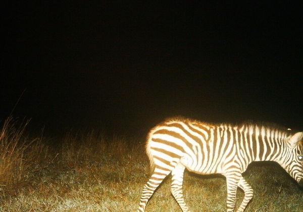 Baby Zebra <3