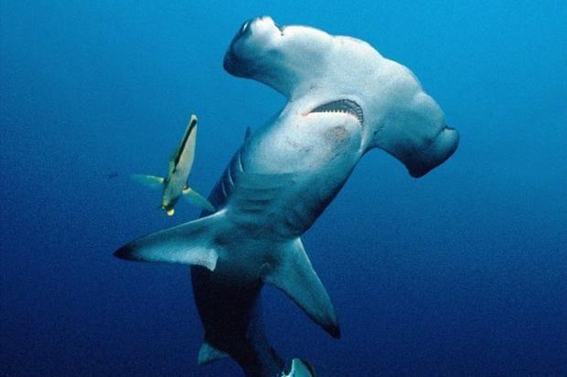 Unverwechselbar: Der Hammerhai mit seiner auffälligen Kopfform. Seine Flossen werden zu Suppen verarbeitet.