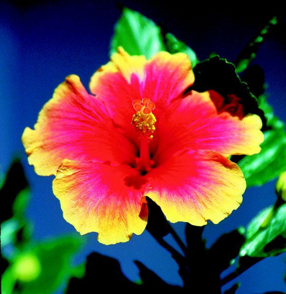 Hibiscus Are Very Beautiful With Yellow And Red 63
