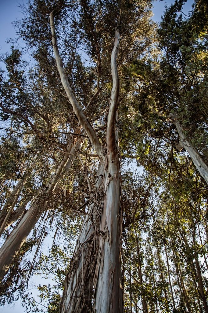 Looking up into the eucalyptus grove