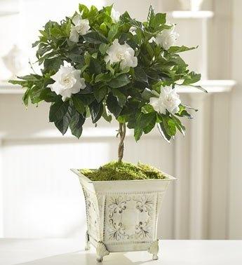 how to grow gardenias indoors