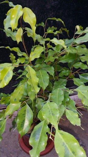 """"""" FICUS ' MONIQUE ' """" Ficus Monique es un tipo Ficus Benjamina en posición vertical con un patrón de crecimiento arbustivo. Sus hojas elípticas son una brillante, de color verde brillante y han volantes aristas que acentuado en condiciones de poca luz. Sus hojas maduras son duras y crujientes. 'Monique' se adaptará a los niveles de luz más altas donde las instalaciones dictan.  Una de las características más destacadas de esta planta es su resistencia a la caída de las hojas. Varios…"""