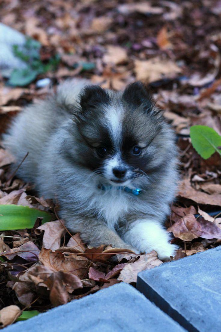 Best 25 Toy Pomeranian Ideas On Pinterest Teacup Dogs