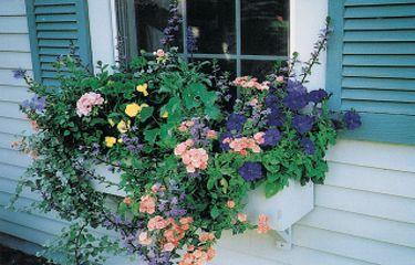 Try this gorgeous window box this summer: 2 Petunias (1 purple, 1 light purple) * 1 Coral geranium * 1 Purple scaevola * 1 Lemon-yellow pansy * 1 Blue salvia * 1 Coral Reef annual phlox * 1 Red nasturtium * 1 Lime licorice vine