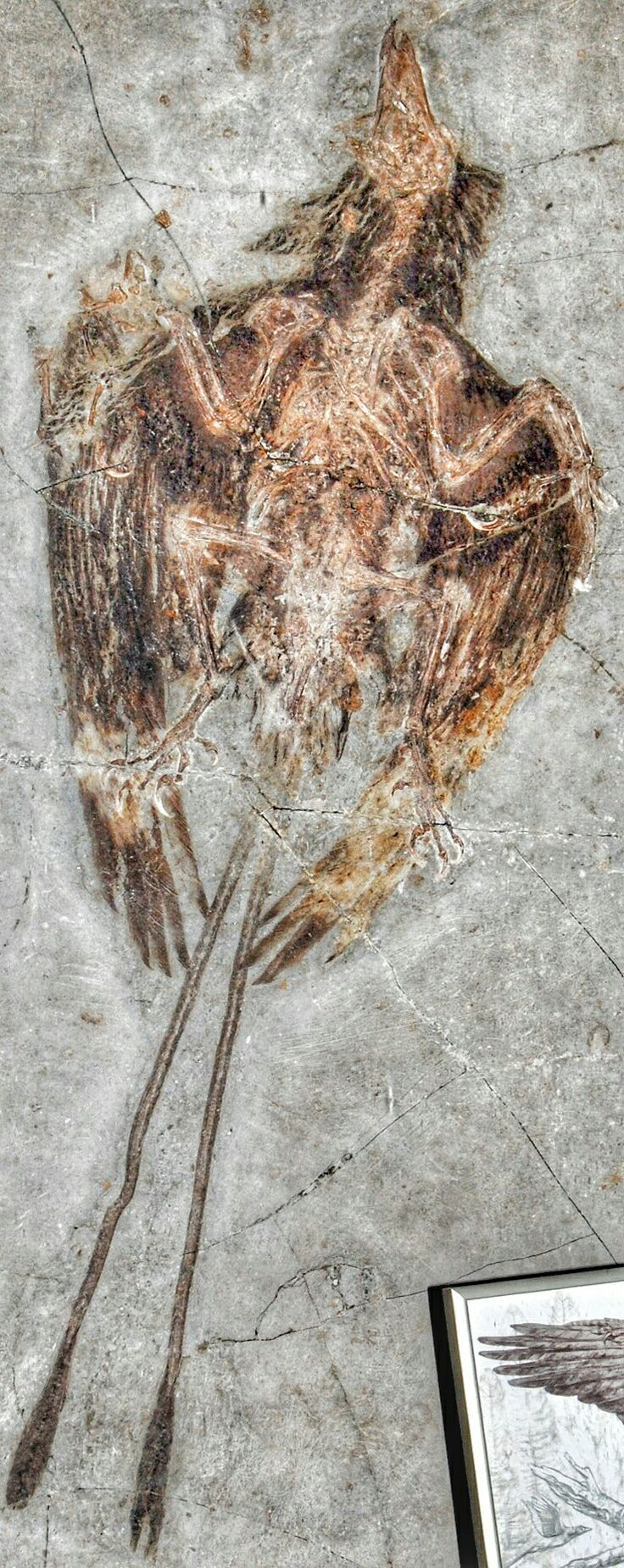 Confuciusornis is a genus of primitive crow-sized birds from the Early Cretaceous Yixian and Jiufotang Formations of China, dating from 125 to 120 million years ago. Like modern birds, Confuciusornis had a toothless beak, but close relatives of modern birds such as Hesperornis and Ichthyornis were toothed, indicating that the loss of teeth occurred convergently in Confuciusornis and living birds. It is the oldest known bird to have a beak