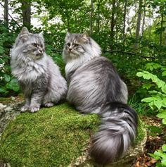 The Enchanted Storybook, Norjalainen metsäkissa