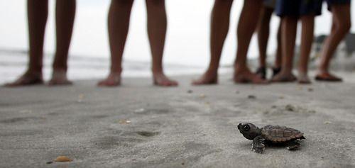 Go go go!: South Litchfield, Litchfield Beach, Loggerhead Turtle, August 17, Sea Turtles, South Carolina, Baby Turtles, Animal