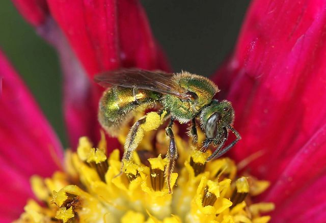 awesome How to Get Rid of Sweat Bees - Be Friendly but Persistent  (2017) Check more at https://cozzy.org/how-to-get-rid-of-sweat-bees/