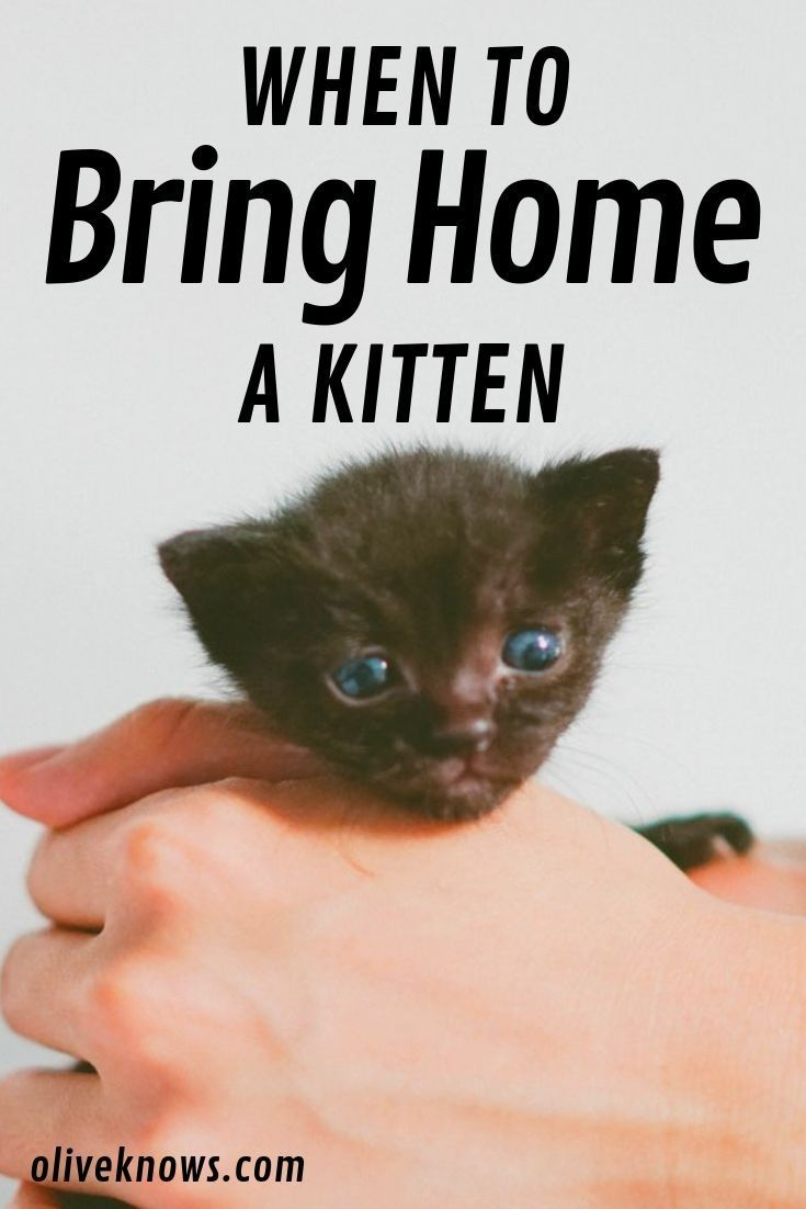 When Can You Bring Home A Kitten Oliveknows Kitten Proofing Kitten Kitten Care