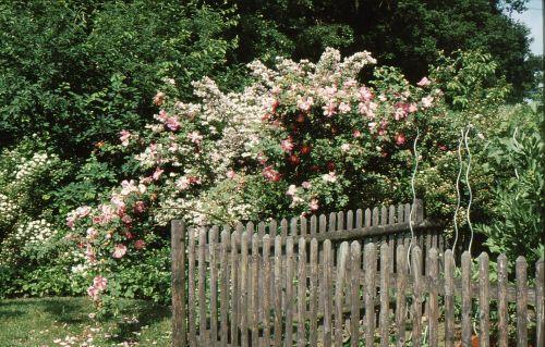 Rose und Kolkwitzie