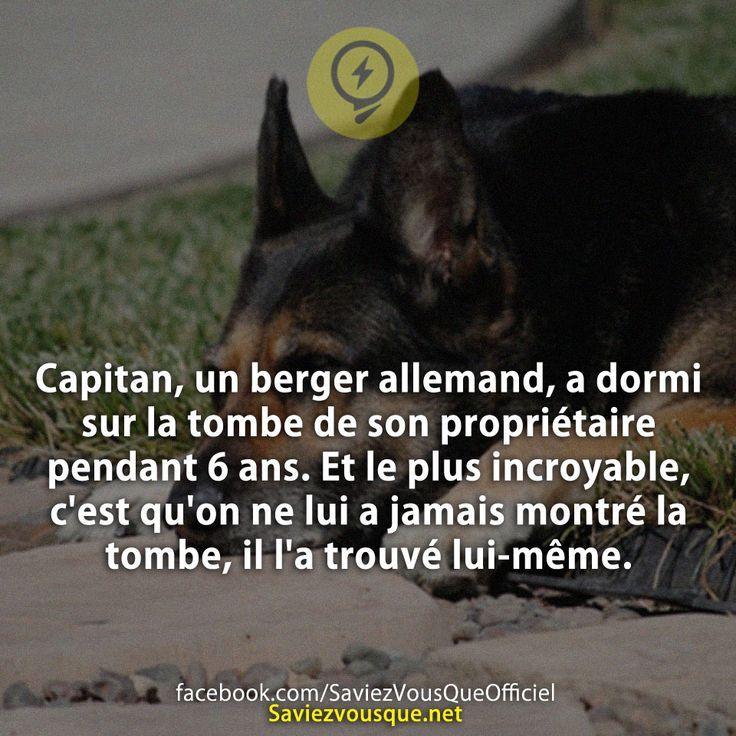 Capitan, un berger allemand, a dormi sur la tombe de son propriétaire pendant 6 ans. Et le plus incroyable, c'est qu'on ne lui a jamais montré la tombe, il l'a trouvé lui-même. | Saviez-vous que ?