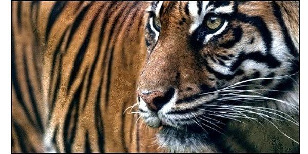 petition: Save the Sundarbans Bengal Tigers
