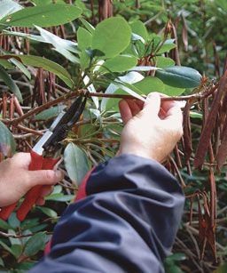 3 Ways to Prune Rhododendrons - I've got some majorly scraggly rhodies that need this desperately.