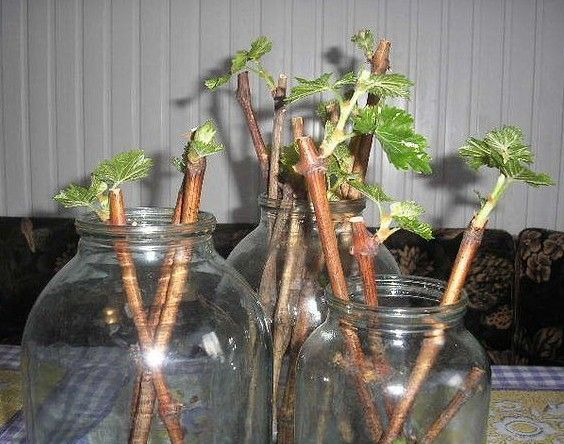 Саженцы смородины за три месяца - время заготавливать черенки
