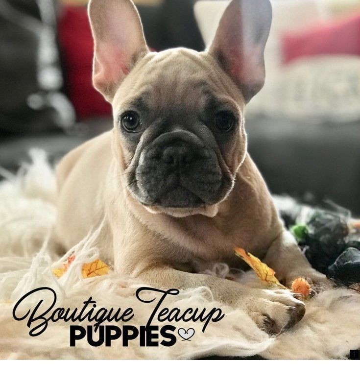 Learn About Teacup Pugs For Sale Click The Link To Read More