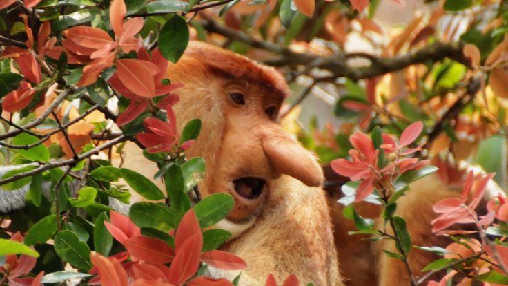 Proboscis monkey. Nosáči z Bornea. Indonésie. Nasalis larvatus. Kahau no...