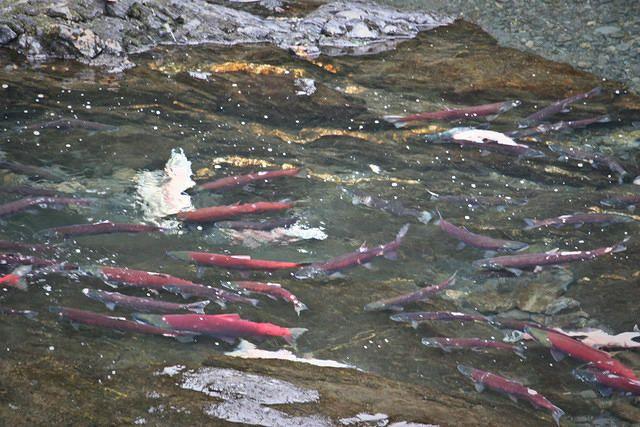 Chilkoot Lake Alaska, Salmon Fishing