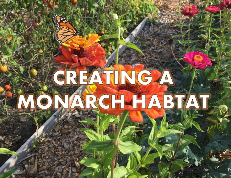 Resources From The National Wildlife Federation For Creating A Monarch  Habitat.