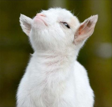 kid goat with major attitude.