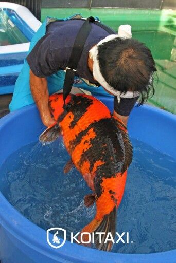 1085 best images about koi varieties on pinterest for Kodama koi for sale