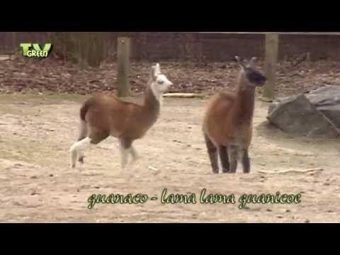 Classic clip: Meet the Guanaco Family