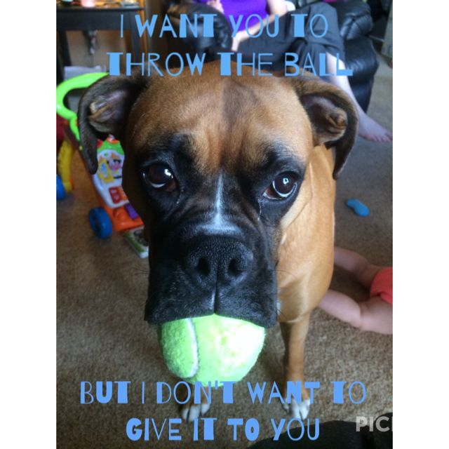 Boxer Dogs, Dogs, Boxer