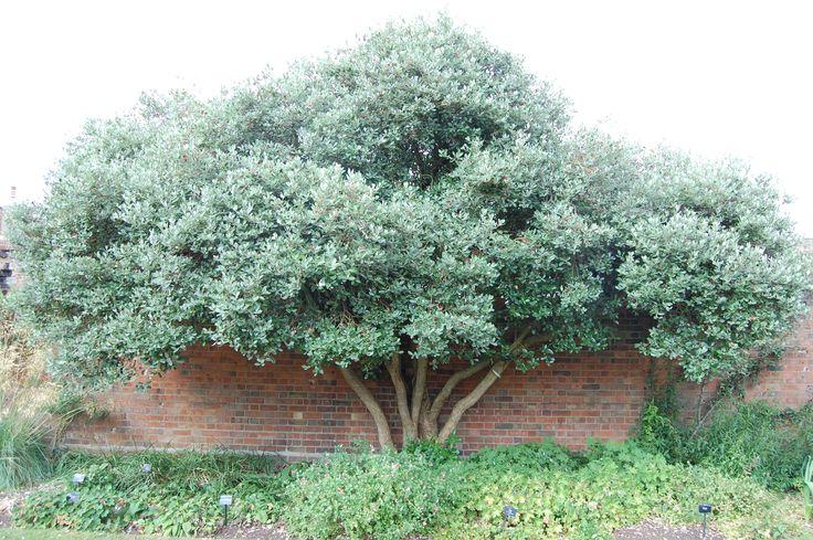 Pineapple Guava Tree, or Feijoa Tree