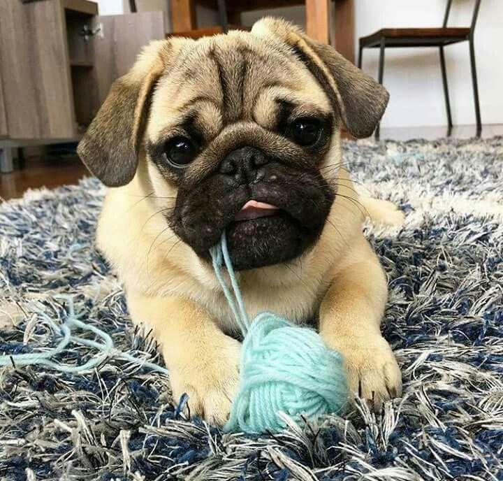 ~pug pup~