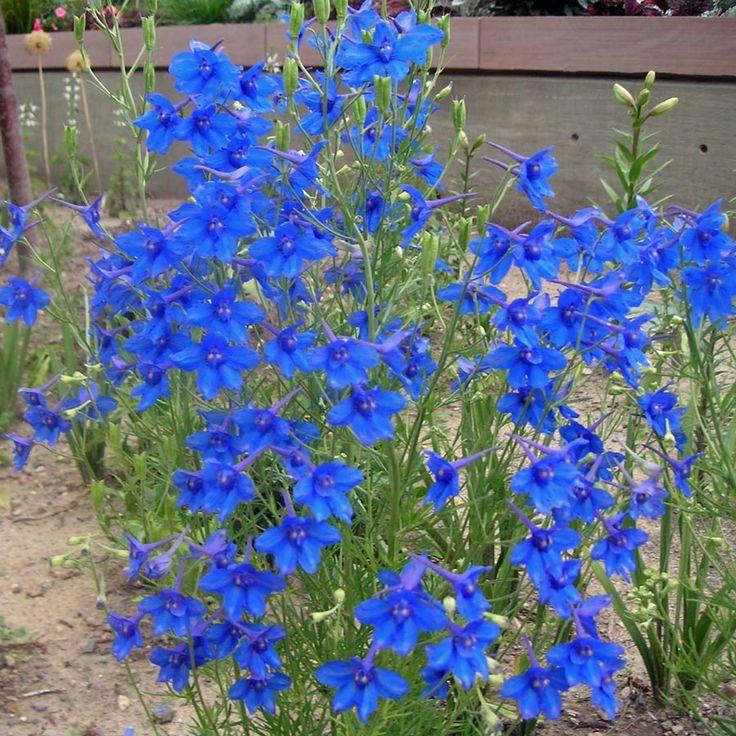 DELPHINIUM Blue Butterfly | Garden | Pinterest