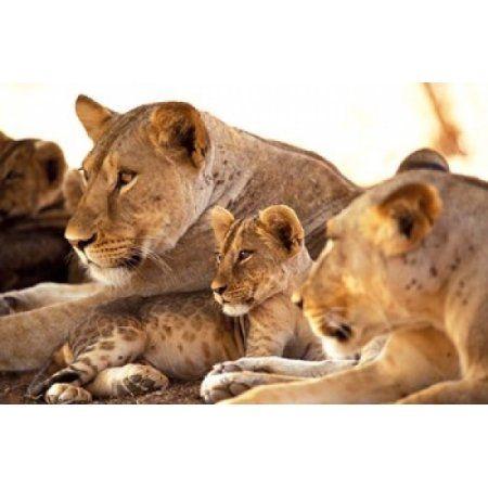 Lion cub among female lions Samburu National Game Reserve Kenya Canvas Art - Adam Jones DanitaDelimont (18 x 12)