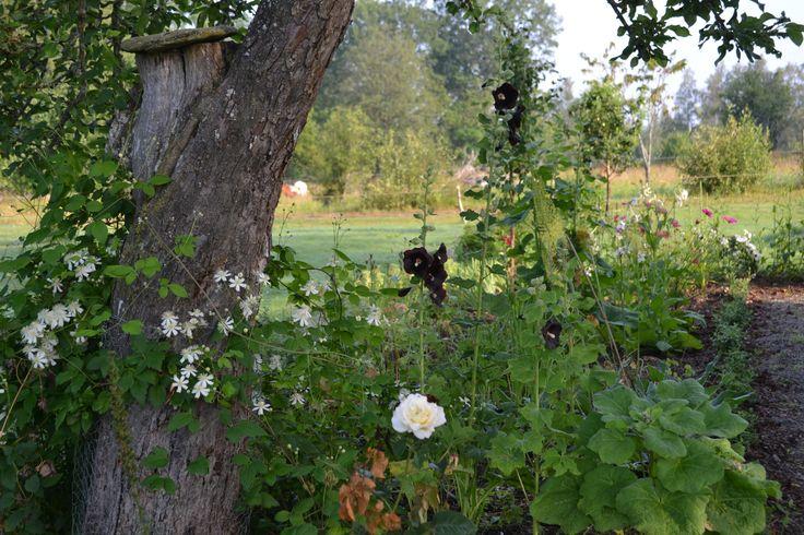 Skogsklematis på väg upp i det döende äppelträdet. #trädgård #garden