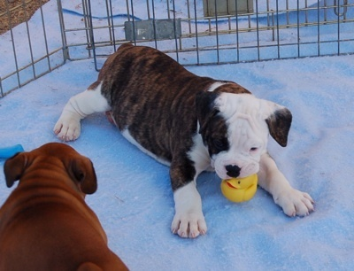 Valley Bulldog (Bull-Boxer) Puppy (English Bulldog/Boxer Hybrid) - this type of dog is in our future!