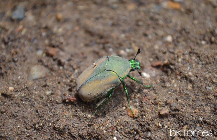 """Mayate: Su nombre proviene del nahuatl también es llamado """"escarabajo de junio"""" o Cotinis mutabilis o llamado """"Japanese beetle"""" (escarabajo japonés) o Popillia japonica ya que se atribuye su llegada a America desde Japón ¿será cierto?"""